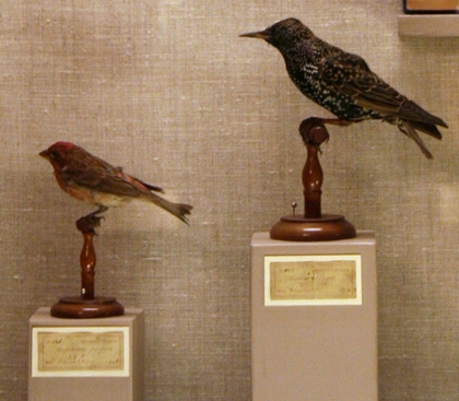 Purple Finch and European Starling