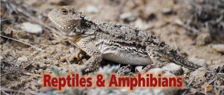 Short-horned lizard