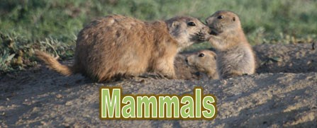 "Prairie dogs ""kissing"""