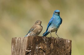 Two mountain bluebirds, the colorful male with the brown female