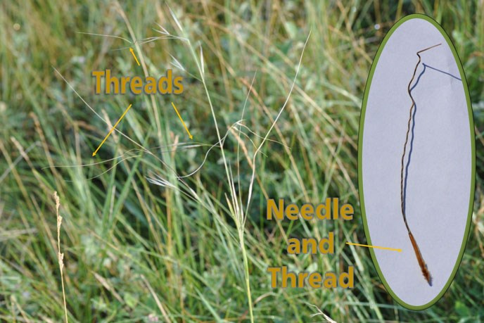 A close up of needle and thread grass