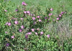 A large prairie rose bush