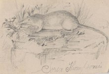 A sketch of a shrew by a young Theodore Roosevelt.