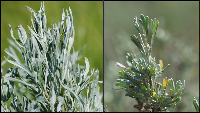 A close up view of silver sage and big sagebrush.