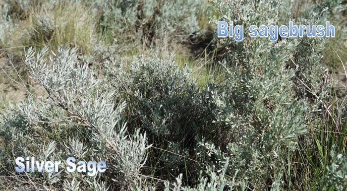Silver sage and big sagebrush together