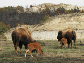 Bison grazing in regrowth