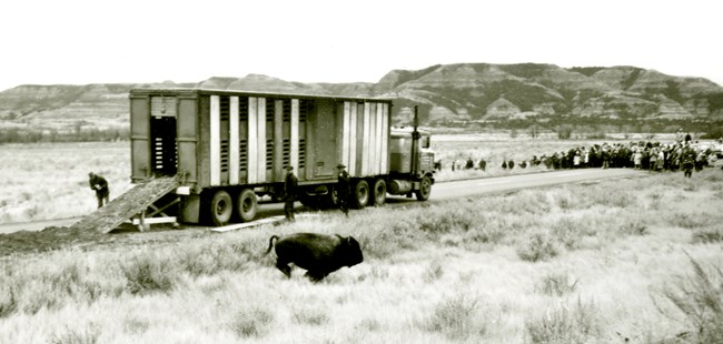 A bison runs out of an open truck into the grass; a large crowd of spectators watches from the background.