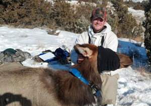 Park staff puts a GPS collar on a tranquilized elk.