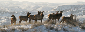 Elk on Ridgeline Trail