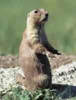 Prairie Dogs Theodore Roosevelt National Park U S National Park
