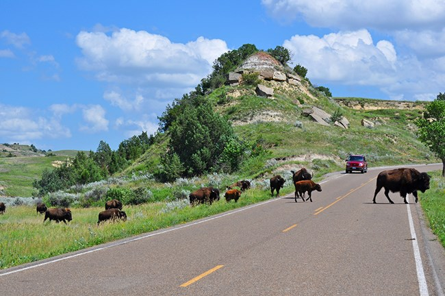 Several bison crossing a road while a red vehicle waits.