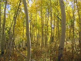 Quaking Aspen Forest