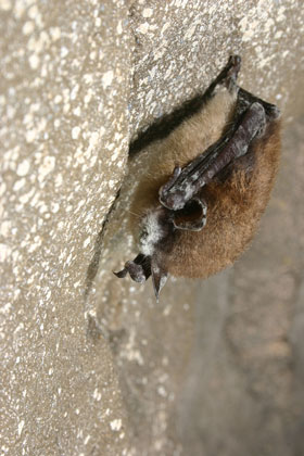 White-nose Syndrome, a fungus that forms a tell-tale white coating on the muzzle of bats is deadly to nearly all bats affected.  Photo by Al Hicks, NYSDEC.