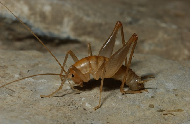 Close up a light brown cave cricket