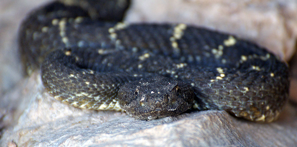 Arizona Black Rattlesnake