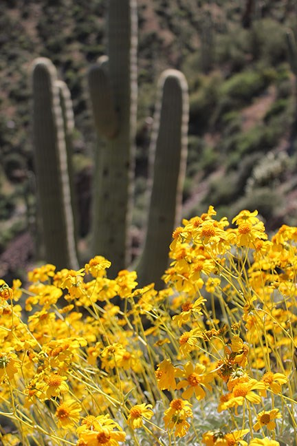 Wildflowers and Saguaro