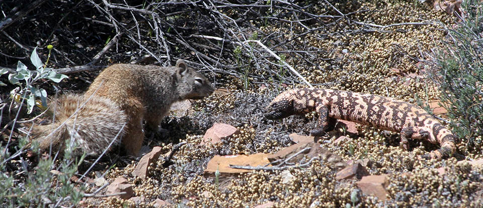 Squirrel and Gila Monster