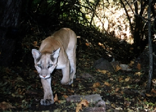 mountain lion on the Upper Cliff Dwelling trail