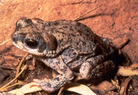 Red-spotted Toad sitting on top of mesquite beans