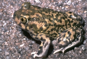 Couch's Spadefoot with olive green and tan coloring