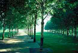 Allee of trees flanking a path, a lawn, and another, parallel row of trees.
