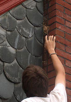 Hand removing debris from the opening between slate and brick. Photo: Bryan Blundell