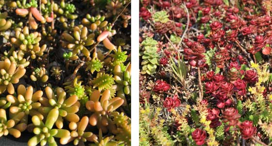 Plants for green roofs technical preservation services for Hearty low maintenance plants