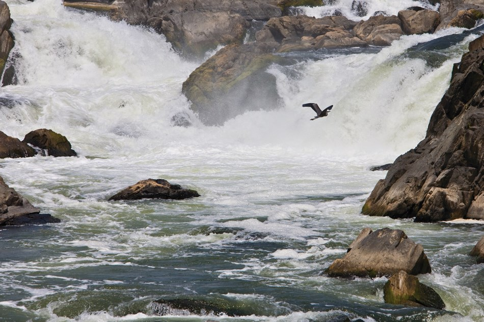 A bird soars below the falls at Great Falls Park.