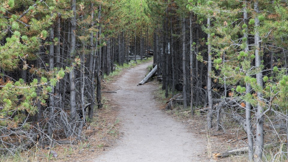 Dirt trail meanders through a conifer forest