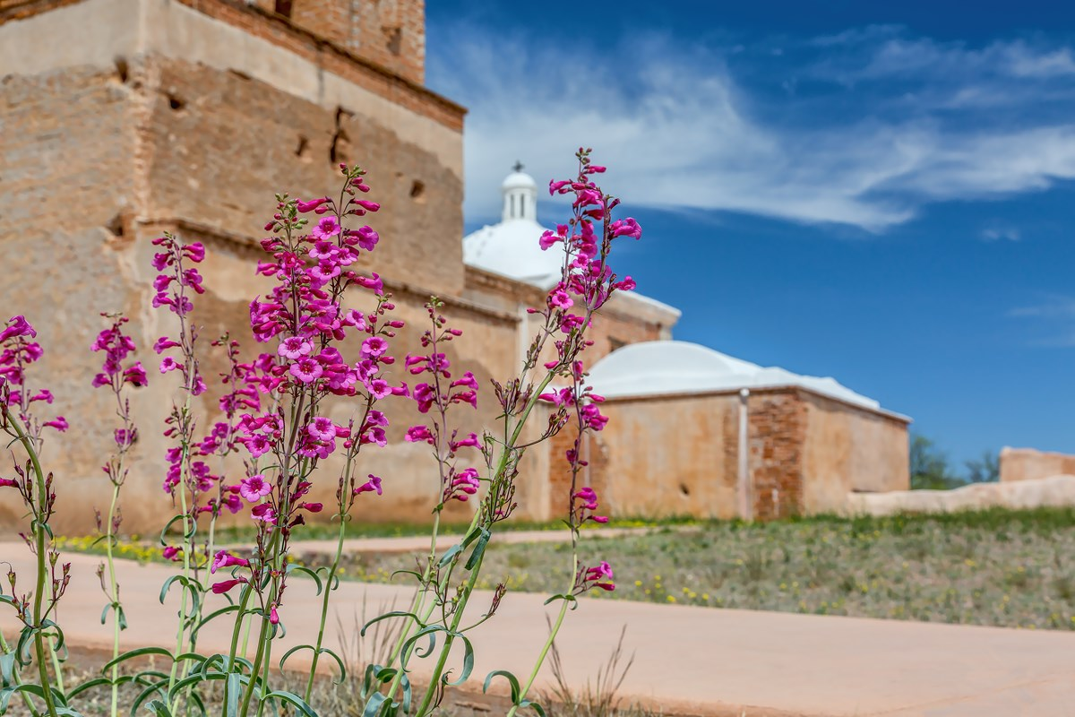 A photograph from the ground of pink flowers with an adobe church behind.