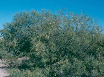 Honey mesquite tree