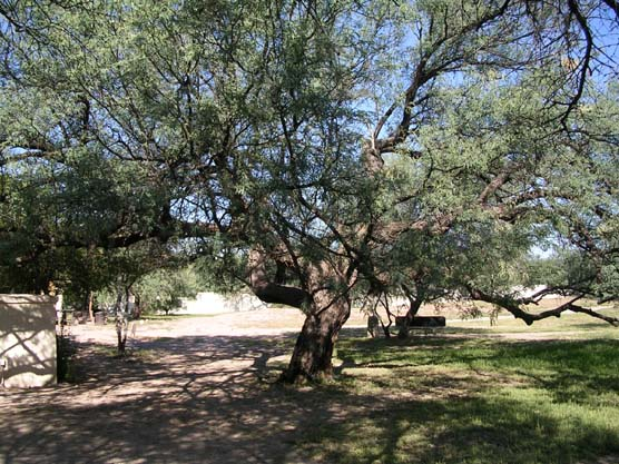 Mesquite tree on Tumacácori Mission grounds