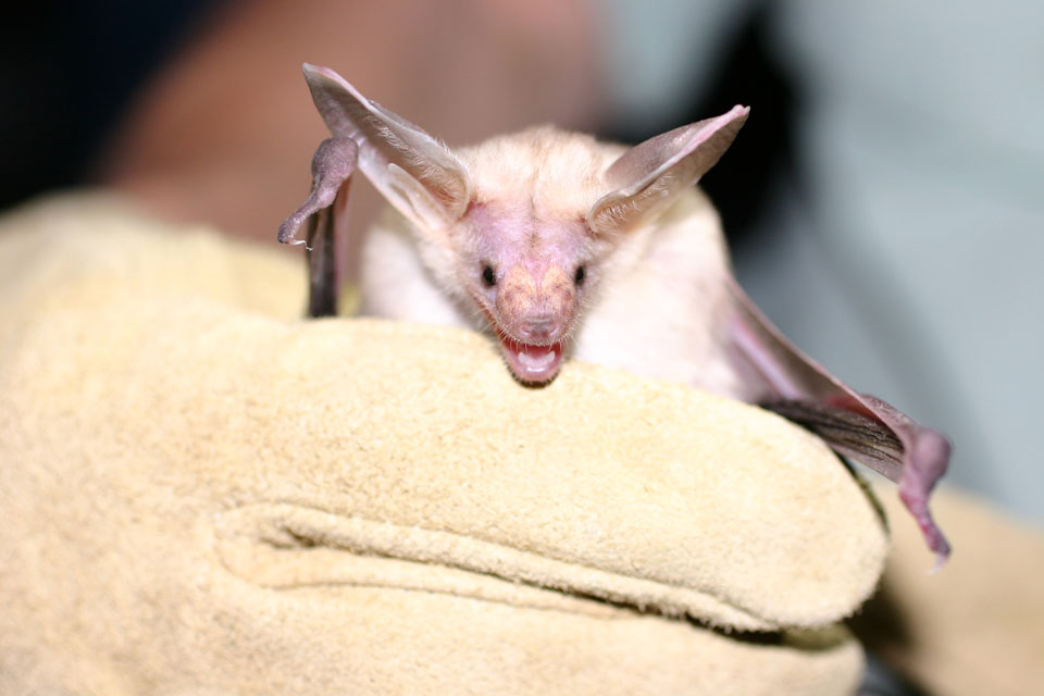 close up of pallid bat in gloved hand