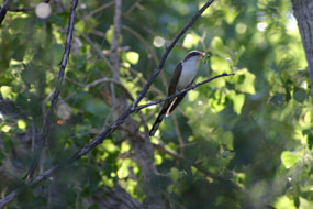 yellow-billed cuckoo with caterpillar in trees