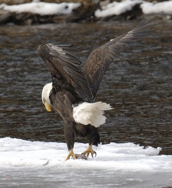Mature Eagle on Ice with Fish