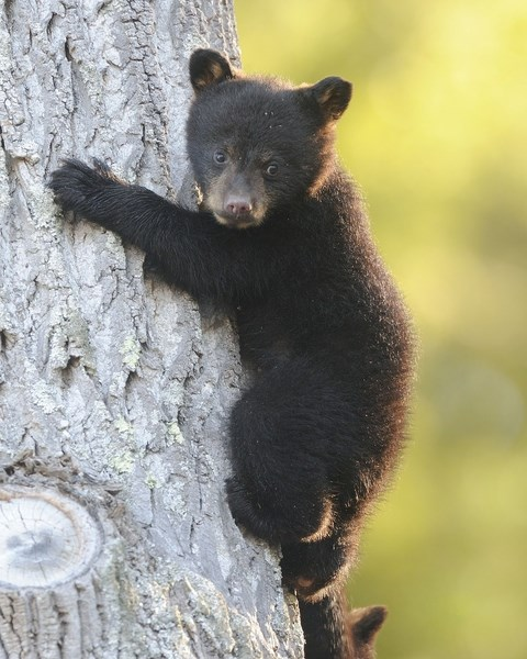 Bear cub up in a tree