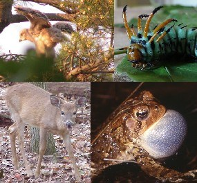 Red-Tailed Hawk fledgeling, Hickory Horned Devil, American Toad, White-Tailed Deer