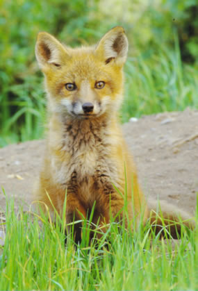 A red fox pup sitting alertly on a hill.
