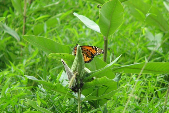 Monarch butterfly perched on a milkweed plant in Valley Forge National Historical Park.
