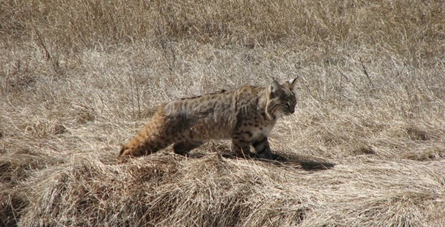 Bobcat walking through grass.