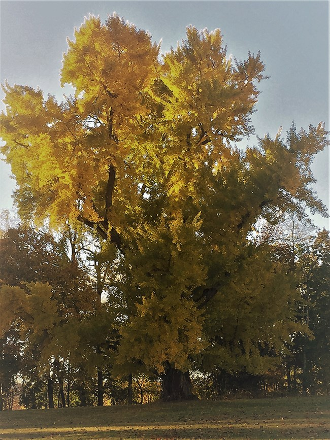 A Gingko Tree with yellow leaves