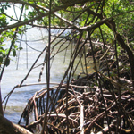 These mangroves grow along the shoreline providing habitats for juvenile fish.