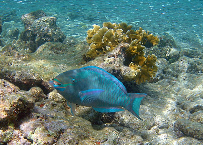 Queen Parrotfish w/fused teeth; fire coral in back