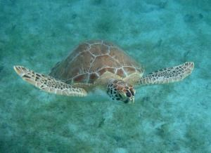 Green Turtle Flying