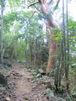 Lind Point Trail in Virgin Islands National Park goes through a dry tropical forest, with both broadleaf plants and cacti.