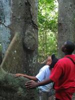 Two students are looking toward the top of a kapok tree, while resting their hands on the buttress of the tree.