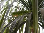 a green lizard, a kind of anole, camouflaged in the fronds of a palm tree