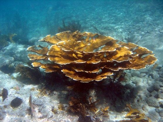 living Elkhorn Coral colony with sunlight