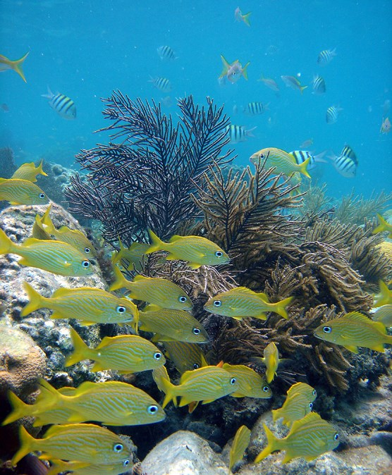 a school of French Grunts swimming in front of soft coral