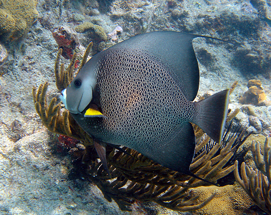 "Gray Angelfish with ""soft corals"" in the background"